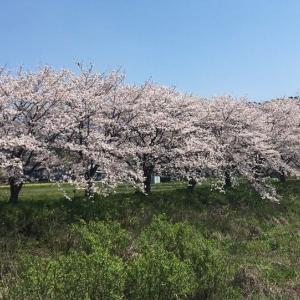 桜並木&テントウムシ