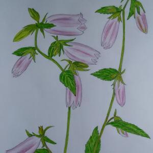 『ホタルブクロ:蛍袋』の絵&水栽培