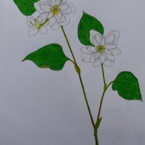 『ヤエドクダミ:八重毒痛み』の絵&『花はどこでしょう?』