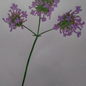 『ヤナギハナガサ:柳花笠』を描きました