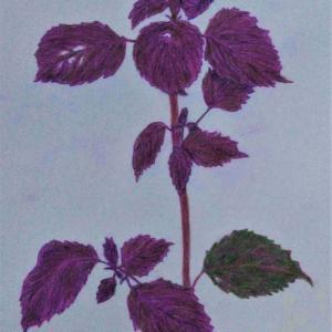 『シソ:紫蘇』を描きました