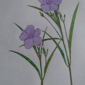 『ヤナギバルイラソウ:柳葉ルイラ草』の絵
