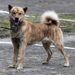 縄文犬 = アイヌ犬