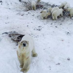 人口5百人のロシアの村に、ホッキョクグマが60頭出現