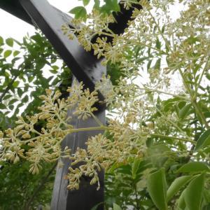 雨のあと…庭のシマトネリコの花
