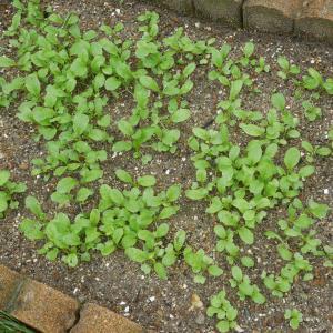 野菜が高いので、小松菜も育てます。