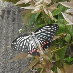 かわいい蝶だな~と思ったら特定外来生物(アカボシゴマダラ)