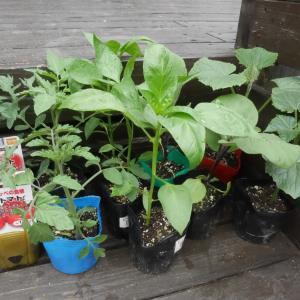 夏野菜の苗を購入