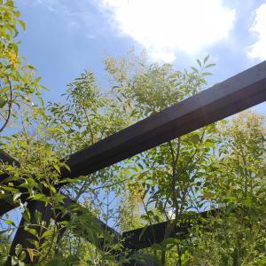 シマトネリコの花と暑い夏予報