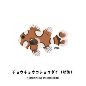尻フリフリ泳ぎのチョウチョウコショウダイ幼魚さん