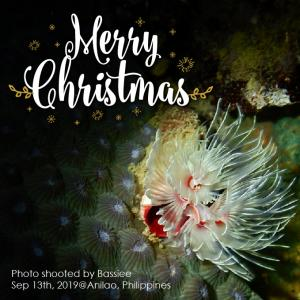 クリスマスツリーのようなイバラカンザシさん