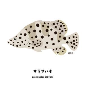 非常にレアな1種1属の独特な体形!サラサハタさん