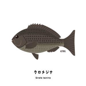 釣り人の間では通称オナガ!クロメジナさん