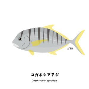 大型魚を先導する?コガネシマアジさん