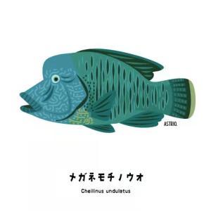 ベラ科最大の魚!メガネモチノウオさん
