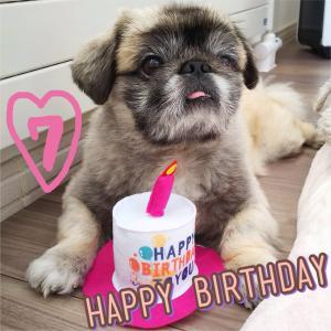 【愛犬 誕生日】あんみつ隊長〜お誕生日おめでとう!
