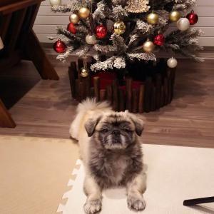 【ペキニーズ】クリスマス ツリー