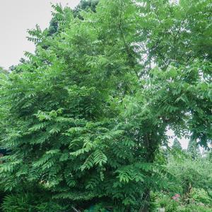 くるみの木 成長