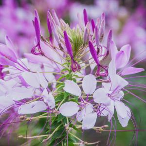 お花畑のクレオメ