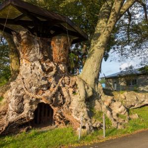 樹齢1000年以上!根かぶ回り日本一の出川の欅(いでがわのけやき)