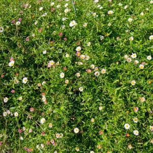 小さく可愛らしい花の源平小菊