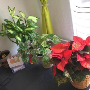 家の観葉植物 : 増やし中