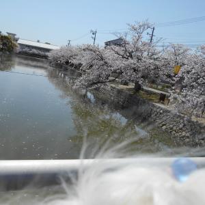 こももちゃんとママとお花見に行ったよと基本やさしくない日本人