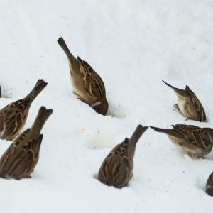 すずめ・雀・sparrowの小話