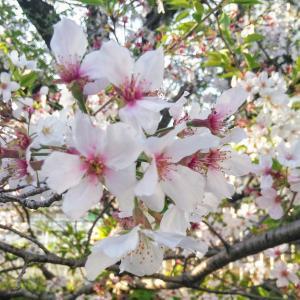 満開の桜と散歩