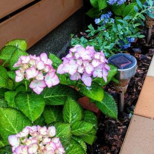雨の日はお庭のアジサイに癒やされると情熱