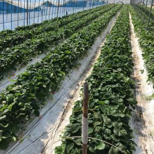 派遣278/607日目、いちごの新しい苗のための作業