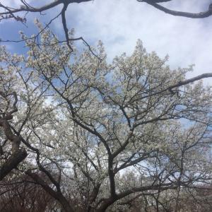 お花見 根岸森林公園(2018年)