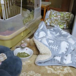 【動画】爆睡うさぎ、モコ