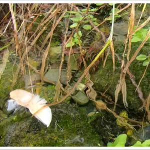 ザリガニ釣りに野川公園へ【コンビニで仕掛け調達】東京でザリガニ遊び