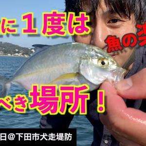 【伊豆下田の犬走堤防で釣り】南国の魚が爆釣!地元の釣り師が通う堤防で、東京湾の釣り人がサビキ釣り!《2020年10月13日》