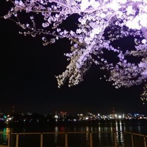 千波湖の夜桜と夜の偕楽園