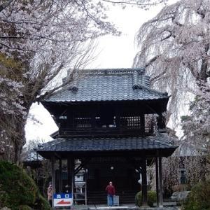 阿弥陀寺のしだれ桜