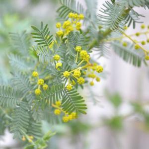 我が家のシンボルツリー「ミモザアカシア」