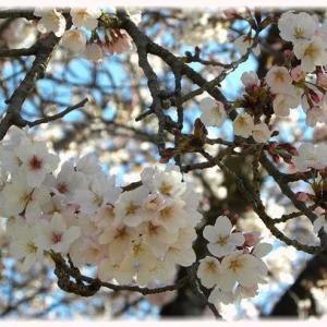 その後のマイ桜+(プラス)…