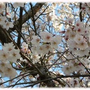 マイ桜よ、また来年…
