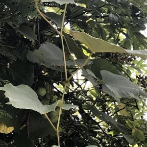 ニューヨーク近郊 @コロナ疎開 ロードアイランドより ワイナリー 庭のぶどう