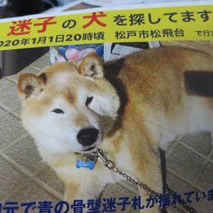 柴犬ポチちゃん迷子