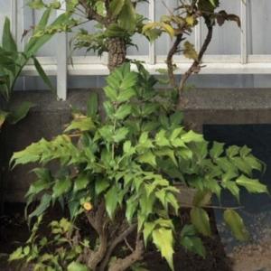 縁起の良い木を植樹♪・・・三井ホ―ム(全館空調)のお家