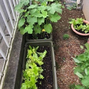 家庭菜園の成長♪♪ ・・全館空調(スマートブリーズワン)の家