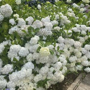 不動山 勝名寺 1500株のあじさいが咲き花の寺、あじさい寺と呼ばれる寺 高松市