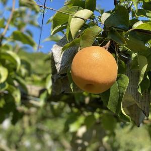 土本観光果樹園 梨狩りとりんご狩り 食べ放題 佐川町