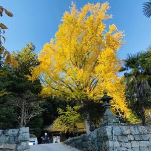 薬師院の大イチョウ 香川の保存木 迫力ある秋の紅葉 三豊市