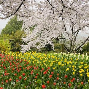 公渕森林公園 5000本 桜の花見の名所 チューリップ 高松市