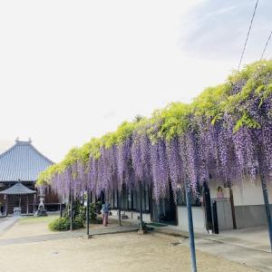萬福寺 藤寺と呼ばれ紫や白やピンク色の藤棚が見事 財田町