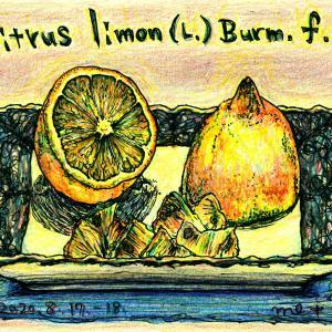 Citrus limon (L.) Burm.f.